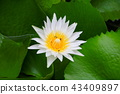 lotus flower white or water lilly and the bee  43409897