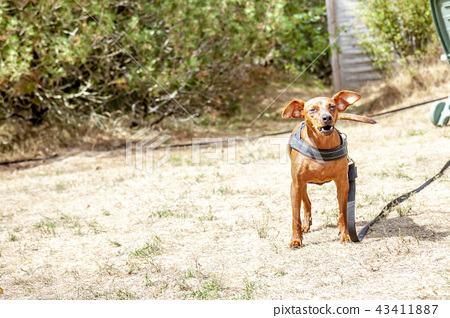 Young brown Miniature Pinscher on dry grass 43411887