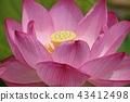 lotus 연꽃 43412498