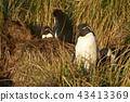 Rockhopper Penguin on the Falkland Islands 43413369