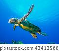 海龜 43413568