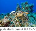 海龜 43413572