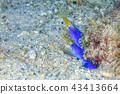 Pairing of Hana beetle 43413664
