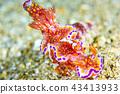 갯민숭이, 갯민숭달팽이, 누디브렌치 43413933