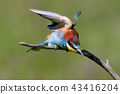 bird bee-eater birds 43416204