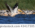 Joint fishing of white pelicans and cormorants 43417305