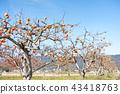 ไร่องุ่นของ Kinmi-cho, Gunma-cho, Date County, Fukushima Prefecture ที่ซึ่งรสชาติของฤดูใบไม้ร่วงเติบโตเต็มไปด้วยท้องฟ้าในฤดูใบไม้ร่วง 43418763