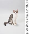 ลูกแมวนั่ง 43420274