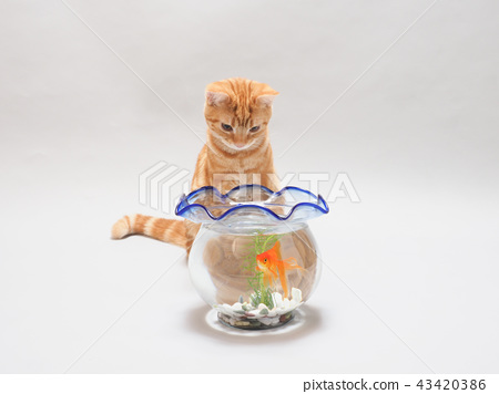 ลูกแมวและปลาทอง 43420386