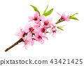 Cherry blossom, sakura flowers isolated on white background 43421425