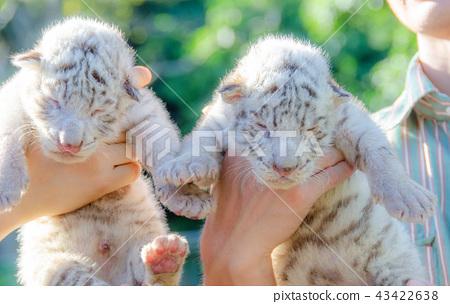 Baby white tiger of Izu animal kingdom 43422638