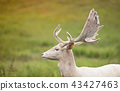 Portrait of white deer on a meadow. 43427463