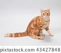 ลูกแมวหัน 43427848