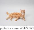 ลูกแมวนั่ง 43427863