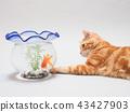ลูกแมวและปลาทอง 43427903