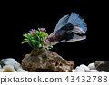 Fighting fish, in a fish tank decorated. 43432788