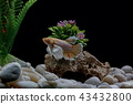 Fighting fish, in a fish tank decorated. 43432800