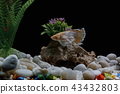 Fighting fish, in a fish tank decorated. 43432803