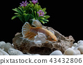 Fighting fish, in a fish tank decorated. 43432806