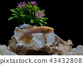 Fighting fish, in a fish tank decorated. 43432808