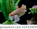 Fighting fish, in a fish tank decorated. 43432809