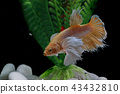 Fighting fish, in a fish tank decorated. 43432810