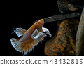 Fighting fish, in a fish tank decorated. 43432815