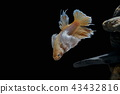 Fighting fish, in a fish tank decorated. 43432816