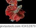 Siamese fighting fish, red fish,black background.  43432870
