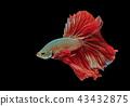 Siamese fighting fish, red fish,black background.  43432875