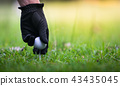 Hand putting golf ball on tee in golf club. 43435045