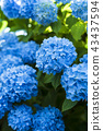 Hydrangea blooming in the shade 43437594