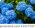 Hydrangea blooming in the shade 43437597