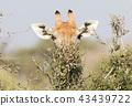 Giraffe eating fresh leaves from a tree 43439722