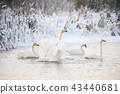 Beautiful white whooping swans swimming in the winter lake. The place of wintering of swans 43440681