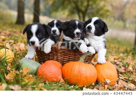 Corgi Puppies Dogs With A Pumpkin