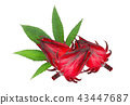 fresh red roselle with green leaf isolated  43447687