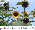 sunflower, sunflowers, bloom 43448824