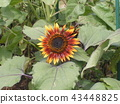 sunflower, sunflowers, bloom 43448825