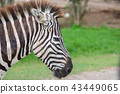 Close up zebra's head 43449065