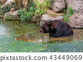 animal, bear, black 43449069
