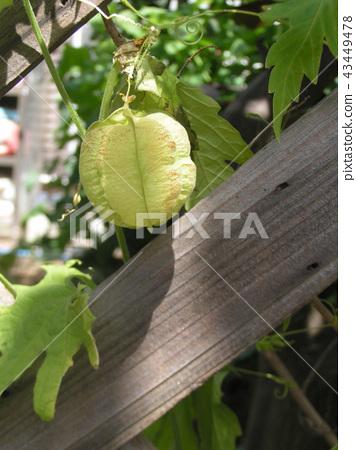 ผลไม้เช่นมะรุมนั้นเป็นผลไม้ของคาซูระฟิวชั่น 43449478