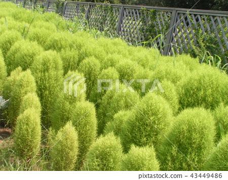 รูปต้นไม้สีเขียวของ Kokaki 43449486