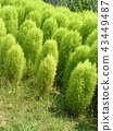地膚 葉 樹葉 43449487