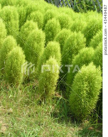 รูปต้นไม้สีเขียวของ Kokaki 43449487