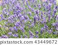 라벤더, 꽃, 플라워 43449672