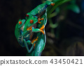 Red-eyed Tree Frog, Agalychnis callidryas 43450421