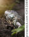 Large tree lizards of the Iguan 43453089