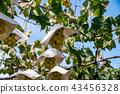 포도, 열매, 청포도 43456328