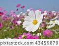 คอสมอส,ดอกไม้,ฤดูใบไม้ร่วง 43459879